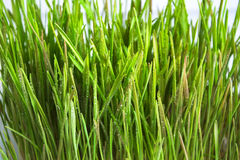 Green sprouts of oat Royalty Free Stock Images
