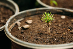 Green Sprouts Of Pine Tree Plant With Leaf, Leaves Growing From Soil In Pot In Greenhouse Or Hothouse. Small Green Sprouts Of Pine Tree Plant With Leaf, Leaves Royalty Free Stock Photo