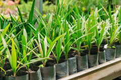 Green Sprouts Of Plant Palm Tree With Leaf, Leaves Growing From Soil In Pot In Greenhouse Or Hothouse. Stock Photo