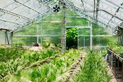 Green Sprouts Of Plant Palm Tree With Leaf, Leaves Growing From Soil In Pot In Greenhouse Or Hothouse. Stock Photography