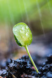 Green sprouts in the rain Royalty Free Stock Image