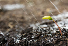 Green sprouts in the rain Royalty Free Stock Photo