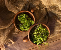 Green sprouts seeds in a brown ceramic cup 5 Stock Images