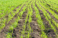 Green sprouts of spring wheat in the field Stock Photo