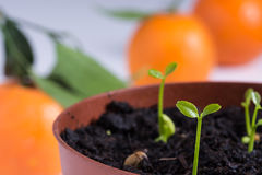 Green sprouts of tangerine Stock Photography