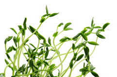 Green sprouts on white background Royalty Free Stock Images