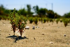 Green sprouts of young trees under the scorching sun in the sand, the concept of durability, growth, willpower, ecology.  stock images