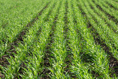Green sprouts of young wheat. Growing in the field Stock Photography