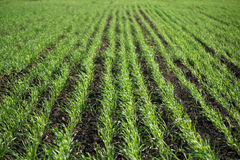 Green sprouts of young wheat. Growing in the field Stock Photo