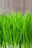 Green sprouts Royalty Free Stock Photo