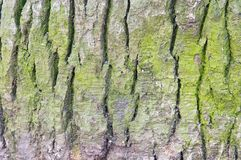 Green Spruce Bark Royalty Free Stock Images