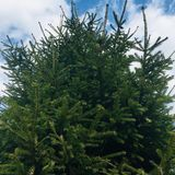 Green spruce. On blue sky background royalty free stock photo