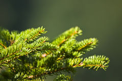 Green spruce branch. Close look on green spruce branch royalty free stock image