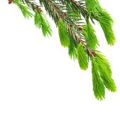 The green spruce branch Stock Photography
