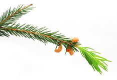 The green spruce branch Stock Image