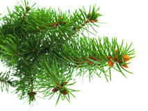 Green spruce branch Stock Photography
