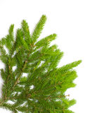 Green spruce branch Royalty Free Stock Image