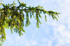 Green spruce branch and blue sky Royalty Free Stock Photos