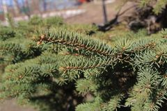 Green spruce branch. Christmas tree. Young spruce stock photos