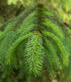 Green spruce branch Royalty Free Stock Photo