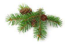 Green spruce branch with cones stock photography
