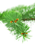 Green spruce branch with little cones Stock Image