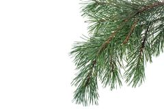 Green spruce branch, pine trees on background for text Royalty Free Stock Image