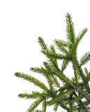 Green spruce branch, pine trees on background for text Stock Photos