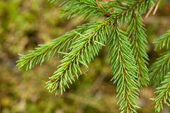 Green spruce branch with web close-up. stock images