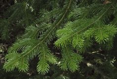 Green spruce branches as a textured background. Stock Images