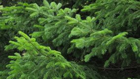 Fir tree branch background sways in the wind, close up. stock video footage