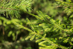 Green spruce branches background Royalty Free Stock Images