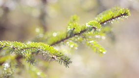 Green spruce branches close-up. summer stock footage