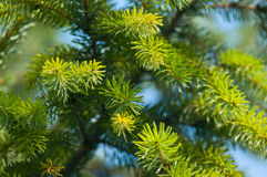 Green spruce branches Royalty Free Stock Photography