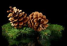 Green spruce branches and cones. Stock Photos