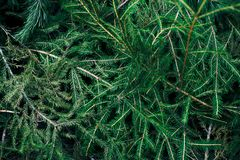 Spruce branches on the ground. Green spruce branches lie on the ground royalty free stock photos