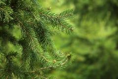 Green spruce Stock Photo
