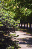 Green spruce in the city park Royalty Free Stock Photos