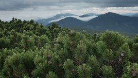 Green spruce with cones on mountain top in cloudy windy summer day. smooth movement stock video