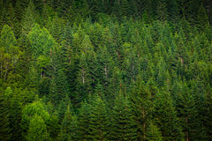Green spruce forest stock photos