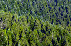 Green spruce forest Stock Image