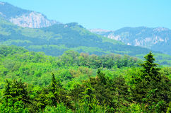 Green spruce growing in the Crimean mountains. In Ukraine, azure sky Royalty Free Stock Photography