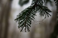 Spruce needles with web and dew drops close up royalty free stock images