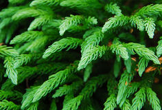 Green Spruce Plant Leaves Royalty Free Stock Images
