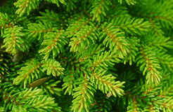 Green Spruce Plant Leaves Stock Image