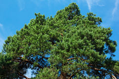 Green spruce on a sky background Royalty Free Stock Image