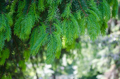 The green Spruce tree branch. Royalty Free Stock Photos