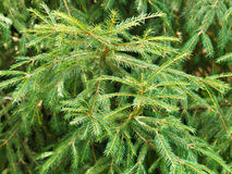 Green spruce tree branch Royalty Free Stock Photo