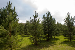 Green Spruce Tree Branches Stock Image