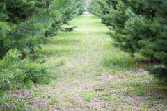 Green Spruce Tree Branches Stock Photo